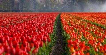 Campos de flores en Holanda